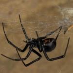 Araña del Trigo